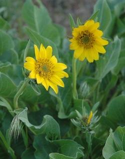 Balsamroot grows in Washington state.
