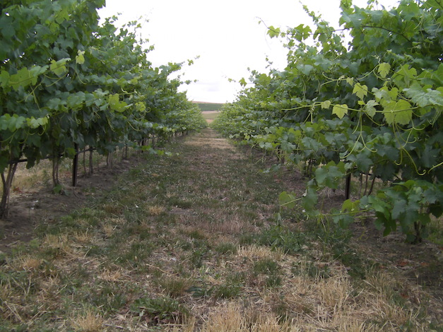 McClellan Estate Vineyard is in the southern end of the Walla Walla Valley.