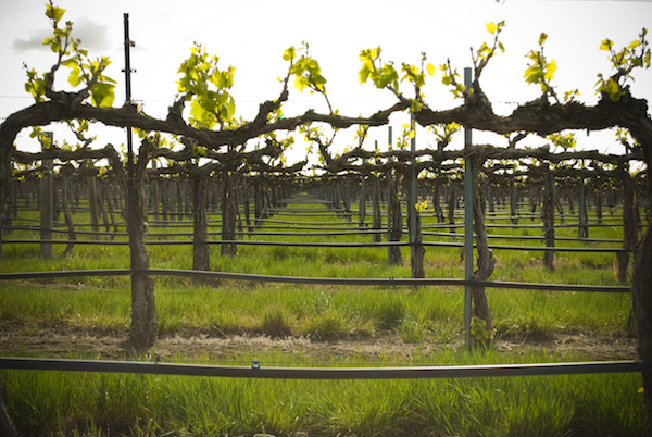 Gamache Vineyard in Basin City, Wash., was first planted in 1982 by brothers Bob and Roger Gamache.