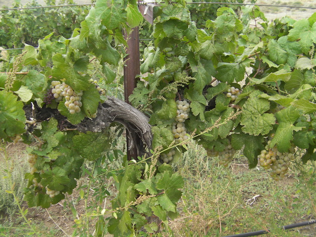 The mid-November Arctic blast that sent temperatures below zero in parts of the Snake River Valley has some vintners and growers worried about the 2015 harvest.