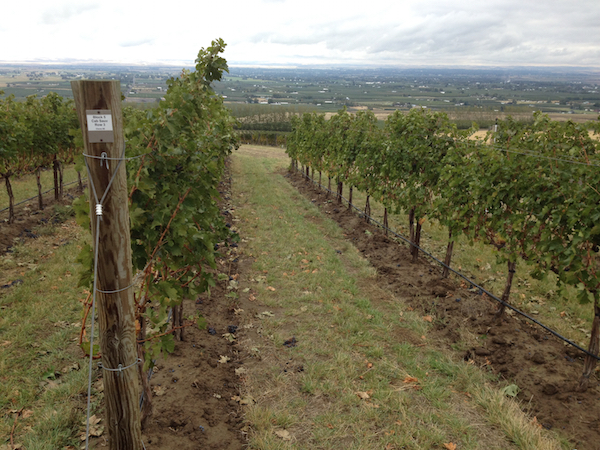 Ferguson Vineyard, a young estate planting near Milton-Freewater, Ore., for L'Ecole No. 41 owners Marty and Megan Clubb, includes Clone 8 Cabernet Sauvignon.