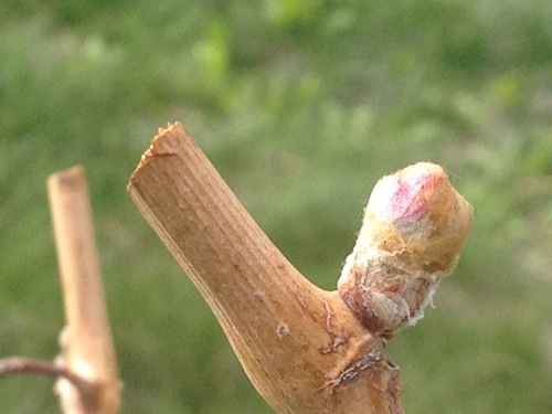 Bud break occurs at Rocket J Vineyard near Asotin, Washington.