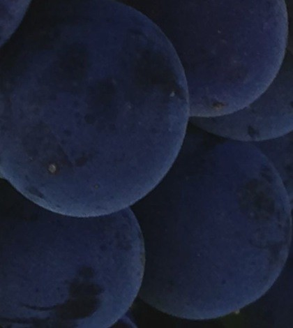 malbec-grapes-featured