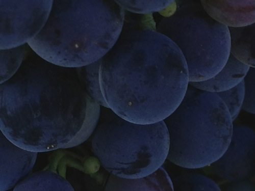 Malbec grapes ripen on Washington's Red Mountain
