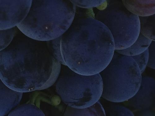 Malbec grapes ripen on Washington's Red Mountain
