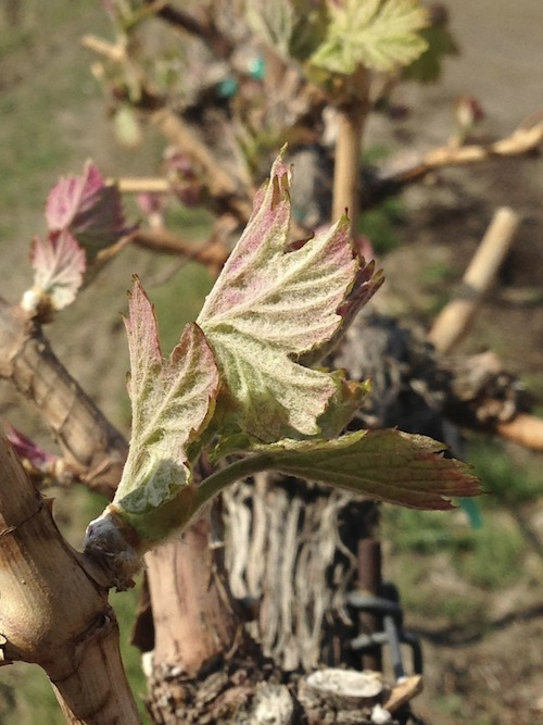Tiny leaves on grape vines need protection from spring frost.
