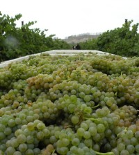White wine grapes showed well in the third annual Great Northwest Wine Competition.