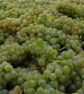 white grapes feature 120x134 - Wonderful whites - and pinks - from 3rd Great Northwest Wine Competition