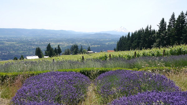 Dampier Vineyard in Underwood, Wash., provides Cathedral Ridge Winery with Pinot Noir from the Columbia Gorge.