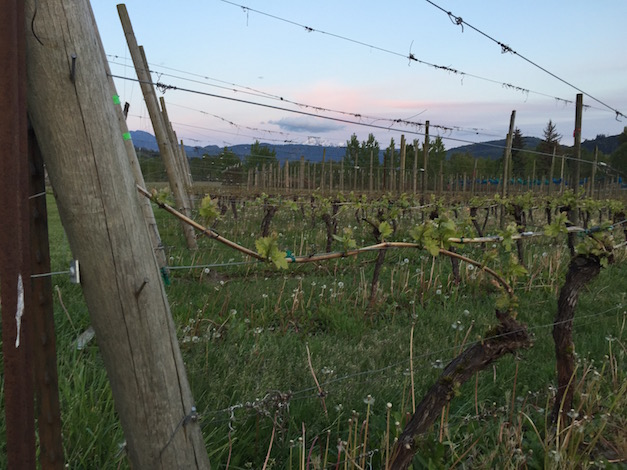 Grape vines continue to grow May 1, 2015 at Mount Baker Vineyards in Deming, Wash.