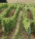 oregon vineyard feature 120x134 - Willamette Valley winemakers gear up for early harvest