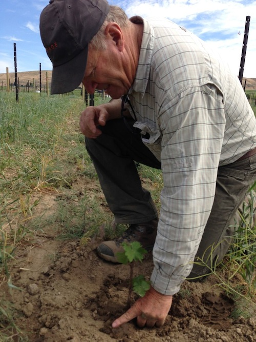 Dick Boushey checks Cabernet Sauvignon planted at Fidelitas on Red Mountain.