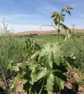 aquilini vine feature 120x134 - Aquilinis moving fast to plant Red Mountain vineyards