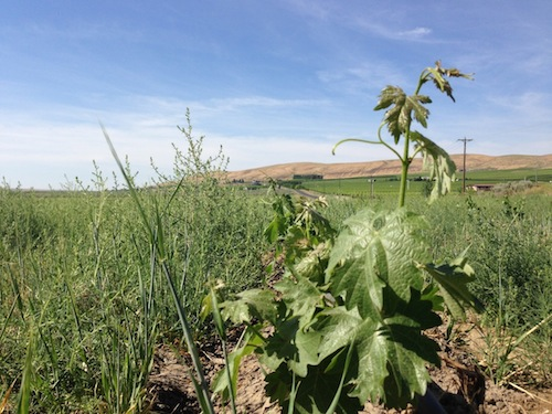 The Aquilini company is planting more than 500 acres of wine grape vines on Red Mountain in Washington state.