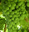 green grapes feature 120x134 - Washington grape growers bullish on warm '16 vintage