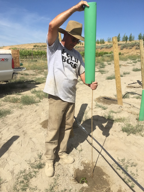 Paul Gifford slides a grow tubes over a young Grenache vine at Gifford Vineyard on Saturday, June 6, 2015 in Benton City, Wash.