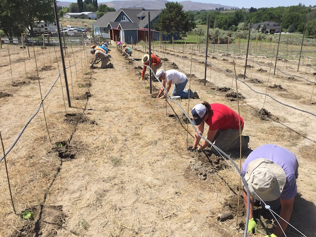 A party of a dozen helped plant Gifford Vineyard on Saturday, June 6, 2015 in Benton City, Wash. (Photo by Eric Degerman/Great Northwest Wine)