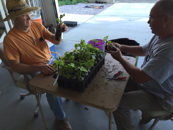 Growner/winemaker Ron Shackelford, left, and Paul Gifford inspect and trim young Grenache before planting Gifford Vineyard on June 6, 2015.
