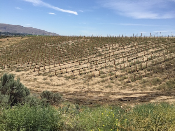 Plantings have continued on Washington's Red Mountain despite the record-setting temperatures of June.