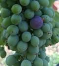 veraison feature 120x134 - Purple berries begin to show up in Washington vineyards