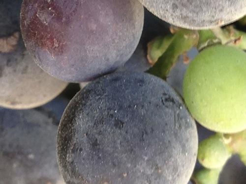Malbec changes color in Col Solare, a Washington vineyard.