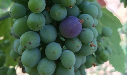 Sagemoor Vineyard Syrah, a Washington vineyard, is beginning to show a change in color.