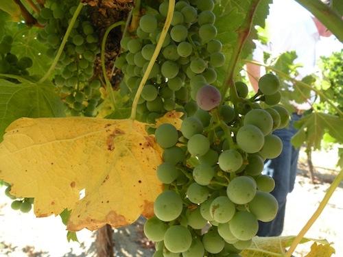 Washington vineyards are on the Wahluke Slope.