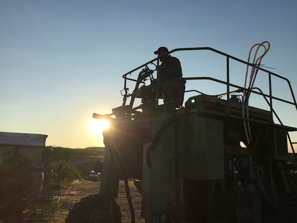 A worker operates a mechanical harvest at Hilltop Vineyard near the Yakima Valley town of Zillah, Wash. Chardonnay grapes were brought in Aug. 7 for Treveri Cellars in the Wapato, Wash., making this one of the earliest harvests in state history. (Photo by Andy Perdue/Great Northwest Wine)