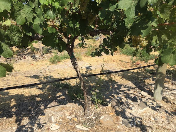 Riesling grows in stone-filled soil at DuBrul Vineyard, the estate Rattlesnake Hills planting of the Shiels family and Cote Bonneville.