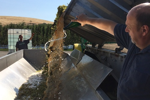 Jeurgen Grieb of Treveri Cellars christens the start of the 2015 Washington wine grape harvest.