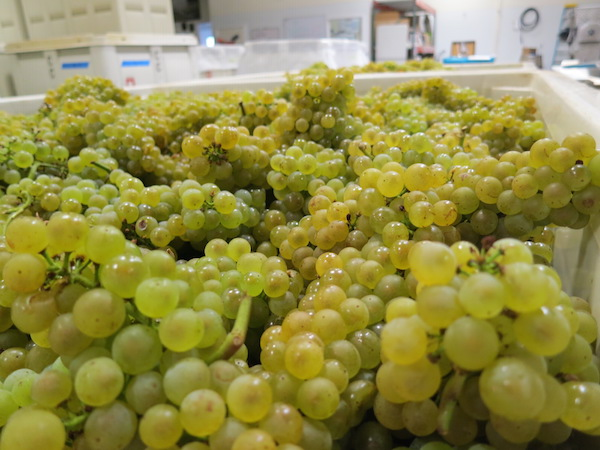Chardonnay arrives at a winery during harvest. (Photo by Eric Degerman/Great Northwest Wine)