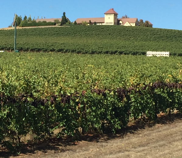 Clusters of Pinot Noir from the 2015 vintage hang Sept. 26 at King Estate Winery in Eugene, Ore.