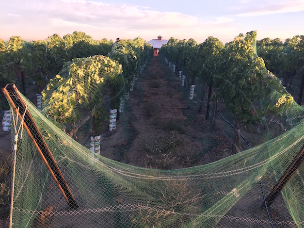 Cabernet Sauvignon continues to hang Sept. 24, 2015, at Fraser Vineyard in the Snake River Valley west of Caldwell, Idaho.