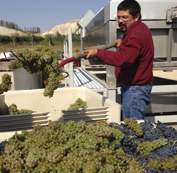Martin Fujishin adds Viognier clusters to Syrah prior to crush and fermentation.