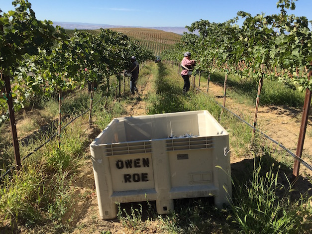 Harvest came Sept. 9 for 2015 vintage Cabernet Sauvignon in Union Gap Vineyard at Owen Roe in Wapato, Wash.