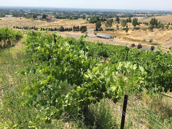 Sangiovese vines dance at Witte Vineyard, a 3-acre site owned by Dr. John Witte near Eagle, Idaho.