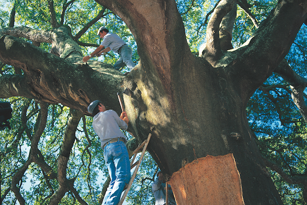 Cork is harvested from a cork tree, and it's a process Whole Foods Markets supports for environmental reasons.