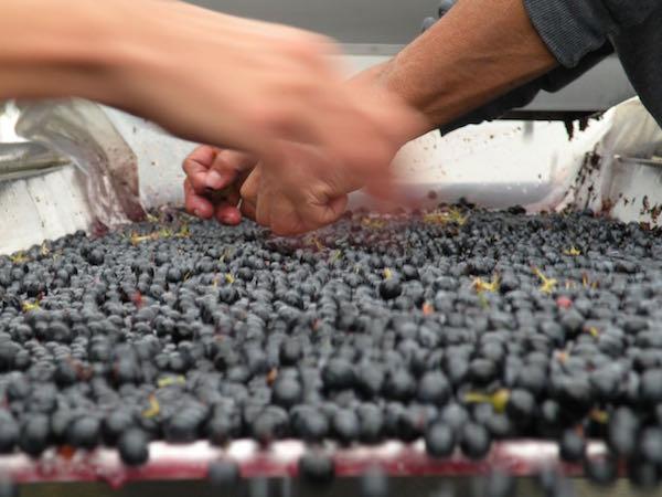 Cabernet Sauvignon grapes are sorted at Reininger Winery in Walla Walla, Washington.