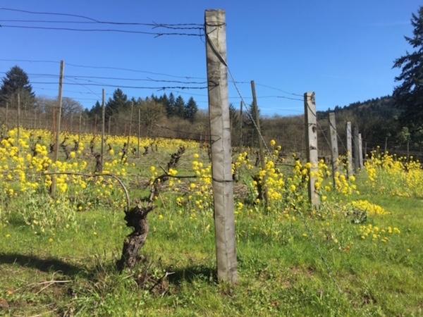 Western juniper posts stand in the A to Z Wineworks vineyard near Rex Hill in Newberg, Ore.