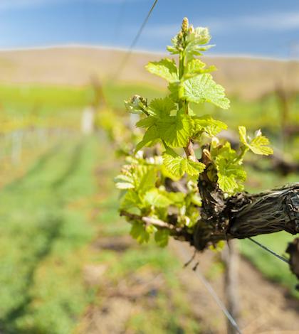 USA, Washington. Bud break in Washington vineyards.