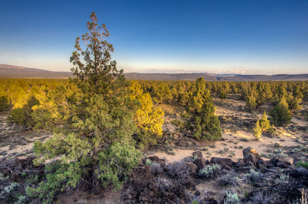 Large communities of Western juniper in Eastern Oregon can supply a variety of timber products for decades. (Photo by Marcus Kauffman/Courtesy of Brink Communication)
