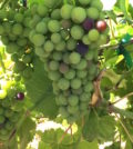 marquette veraison feature 120x134 - Washington grapes start to change color as 'veraison' begins