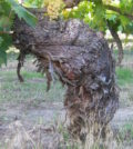 sunnyside feature 120x134 - Wineries hope to return glory to Sunnyside