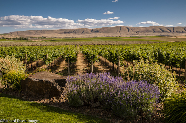 Estate vines bask under the warm Washington country sun at Fidelitas Wines on Red Mountain. (Photo by Richard Duval)