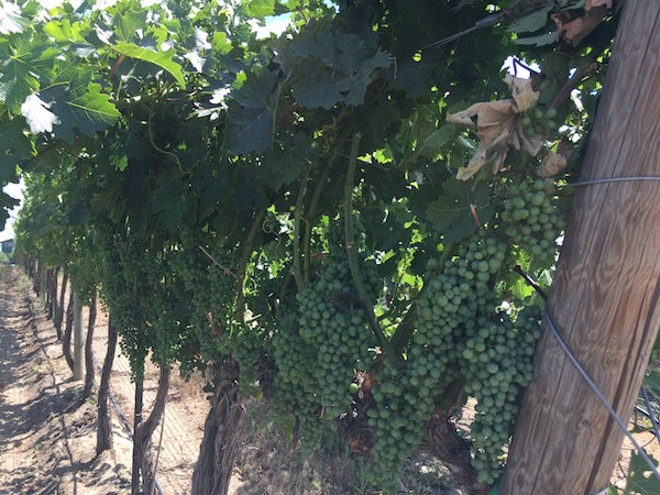 Veraison is near for grape clusters at Discovery Vineyard in Washington's Horse Heaven Hills.