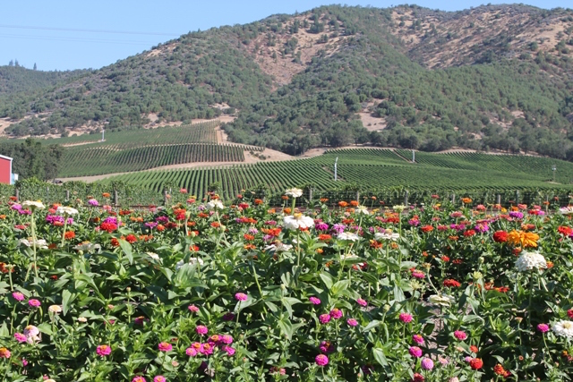 Del Rio Vineyards is one of Oregon's largest vineyards at 305 acres, and it recently planted long rows of zinnias for guests to pick for free and share with friends or those in need of a pick-me-up.