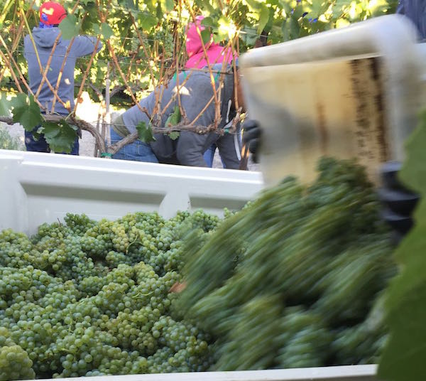 Chardonnay harvest French Creek Vineyard