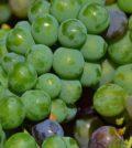 verjus feature 120x134 - Verjus adds tart joy to food from unripe wine grapes