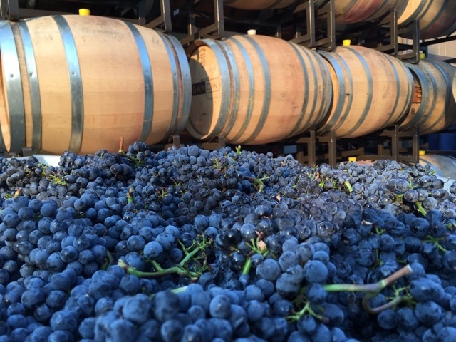 Growing degree days in Oregon's Rogue Valley are on the heels of the record 2015 vintage, and DANCIN Vineyards in Medford harvested Pinot Noir on Aug. 24. (Photo by Dan Marca/Courtesy of Hawkins and Co., PR)