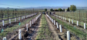 The Williamson family increased its investment in Cabernet Sauvignon by planting this block during spring 2016 in the Snake River Valley near Caldwell, Idaho.